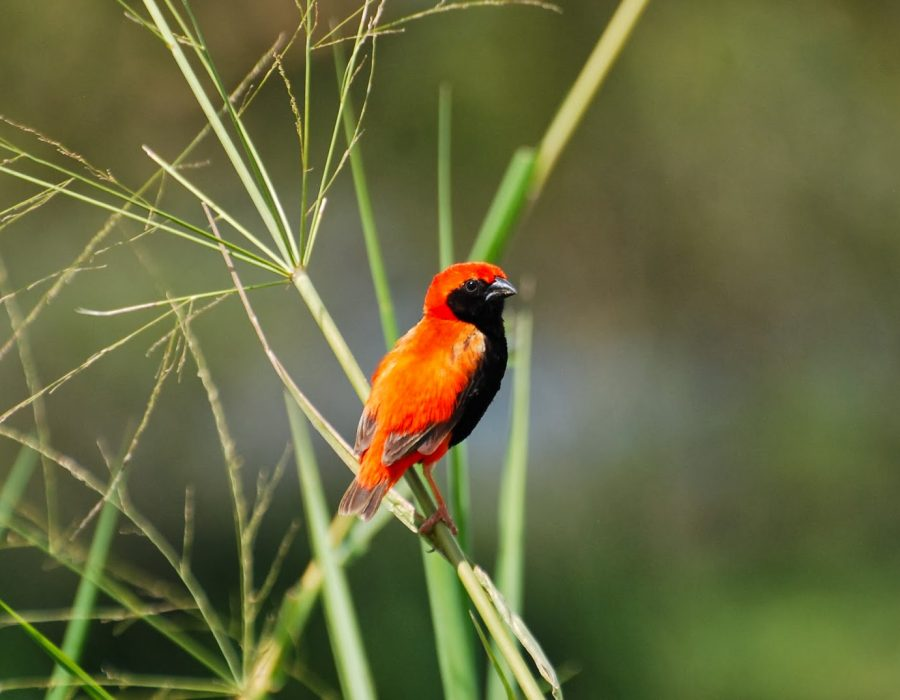 mikumi bird