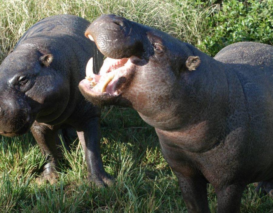 mikumi hippo
